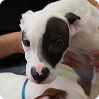 Adopt A Pet :: One-Eyed Jack - Claremore, OK