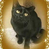 Burmese Cat for adoption in Knoxville, Tennessee - Jerden