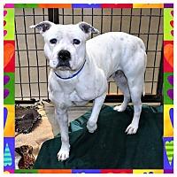 Adopt A Pet :: Iggy - San Jacinto, CA