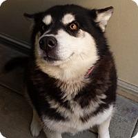 Adopt A Pet :: Bella - Westminster, CA