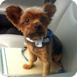 Yorkie, Yorkshire Terrier Dog for adoption in Bemidji, Minnesota - Millie