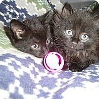 Adopt A Pet :: Brie - Reston, VA