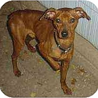 Adopt A Pet :: Red - Florissant, MO