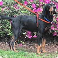 Black and Tan Coonhound/Coonhound Mix Dog for adoption in Atlanta, Georgia - Harpo