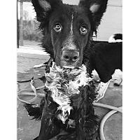 Adopt A Pet :: Oso - Tempe, AZ