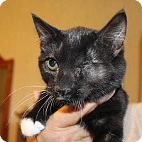 Domestic Mediumhair Kitten for adoption in Rustburg, Virginia - Lotus-Fostered