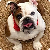 Adopt A Pet :: Hannah - Park Ridge, IL
