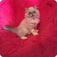 Adopt A Pet :: Sage - Hampton, VA