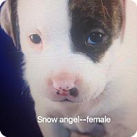Adopt A Pet :: Snowangel - Daleville, AL
