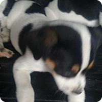 Adopt A Pet :: Ollie - Aurora, CO