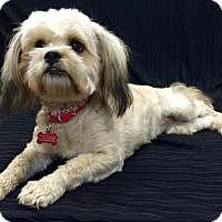 Adopt A Pet :: Suki - Encino, CA
