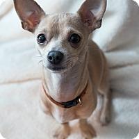 Adopt A Pet :: Oopsie - Bristol, CT