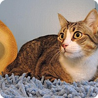 Domestic Shorthair Cat for adoption in Roanoke, Texas - Scotty