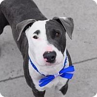 Adopt A Pet :: KING GEORGE - Brooklyn, NY