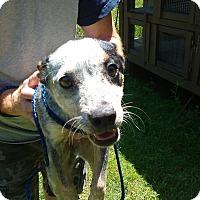 Adopt A Pet :: Macy - Kendall, NY