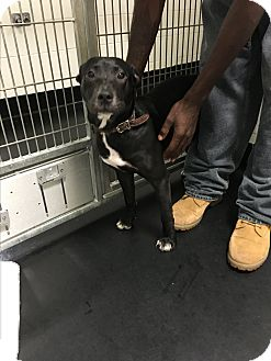 American Pit Bull Terrier/Labrador Retriever Mix Puppy for adoption in Barnwell, South Carolina - Dixie