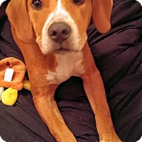 Adopt A Pet :: Vega - Houston, TX