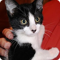 Domestic Shorthair Kitten for adoption in South Saint Paul, Minnesota - Tod
