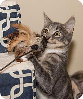 Domestic Shorthair Kitten for adoption in Ashland, Massachusetts - Kittens - the Adorable 'B'  Kittens