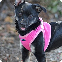 Miniature Pinscher Mix Dog for adoption in Goleta, California - Squeaky