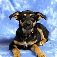 Adopt A Pet :: PAVLOVA - Westminster, CO