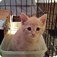 Adopt A Pet :: Chess - Clarkson, KY