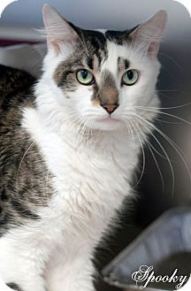 Domestic Mediumhair Cat for adoption in Manahawkin, New Jersey - Spooky