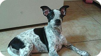 Chihuahua/Australian Cattle Dog Mix Puppy for adoption in Tonopah, Arizona - Joker