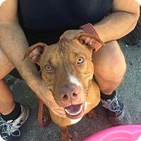 Adopt A Pet :: Rachel - Sarasota, FL
