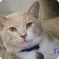 Adopt A Pet :: Taffy - Bradenton, FL