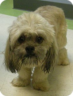 shih tzu rescue va armani adopted dog virginia beach va shih tzu 6842