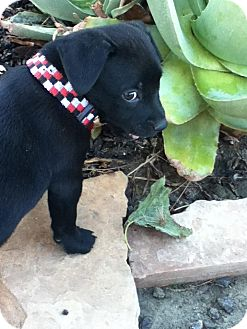 Labrador Retriever Mix Puppy for adoption in Torrance, California - THOMAS