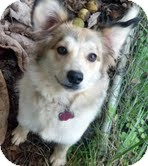 Sheltie, Shetland Sheepdog/Collie Mix Dog for adoption in Sherman, Connecticut - Dasha