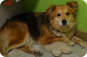 Sheltie, Shetland Sheepdog Mix Dog for adoption in New Manchester, West Virginia - Sherry