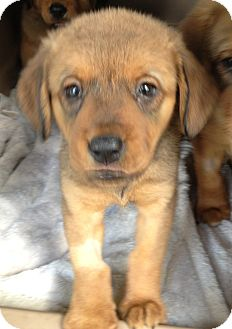 Australian Shepherd/Spaniel (Unknown Type) Mix Puppy for adoption in Gainesville, Florida - Ellie