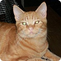 Domestic Shorthair Cat for adoption in Watsontown, Pennsylvania - Jaden