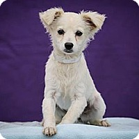 Adopt A Pet :: Pearl - Los Angeles, CA