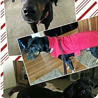 Adopt A Pet :: Lewis - Washington, PA