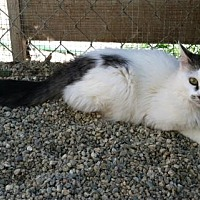 Domestic Mediumhair Kitten for adoption in Sherman Oaks, California - Harlo