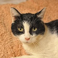 Domestic Shorthair Cat for adoption in Queens, New York - Rosalie