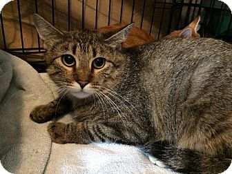 Domestic Shorthair Cat for adoption in Fenton, Missouri - Honey