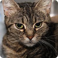Domestic Shorthair Cat for adoption in Marietta, Ohio - Jade (Spayed)