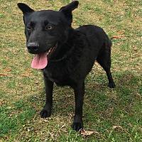 Labrador Retriever Mix Dog for adoption in Columbia, Tennessee - Leonard