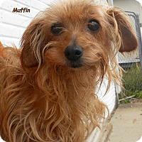 Adopt A Pet :: Muffin - Oskaloosa, IA