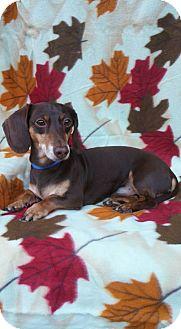 Dachshund Dog for adoption in Charlotte, North Carolina - Dandy