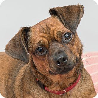 Dachshund Mix Dog for adoption in Westfield, New York - Peaches