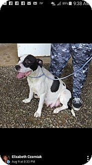 Pointer Mix Dog for adoption in Patterson, New York - Lacy