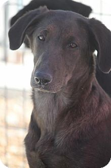 Shepherd (Unknown Type)/Labrador Retriever Mix Dog for adoption in Mahwah, New Jersey - Karlie