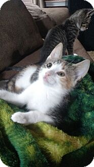 Domestic Shorthair Kitten for adoption in Cedar Rapids, Iowa - Alexa