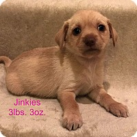 Yorkie, Yorkshire Terrier/Terrier (Unknown Type, Small) Mix Puppy for adoption in Concord, California - Jinkies